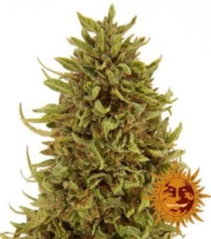 Big Yield strain Pineapple express auto from 420 seeds