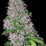 Purple Bud feminised from sensi seeds