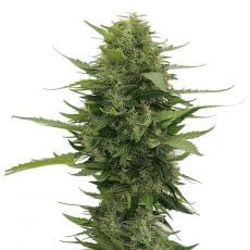 high yield strain White widow feminised fromm crop king seeds