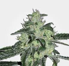 MSNL Seed Bank Northern Storm Auto